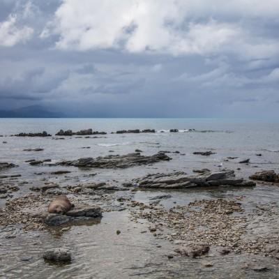 Kaikoura Seal